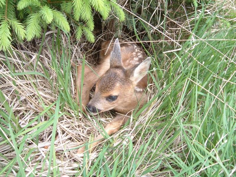 Faon de chevreuil à l'abri dans les hautes herbes